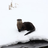 Northern River Otter - Lontra canadensis