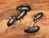 False Mealworm Beetles - Alobates pennsylvanica