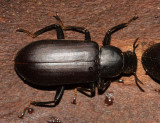 False Mealworm Beetle - Alobates pennsylvanica