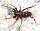Castianeira longipalpa