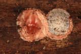 Phrurotimpus sp (egg sack)