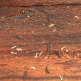 Vertagopus arboreus