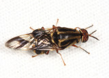 Stratiomyidae - Artemita cf. hieroglyphica