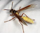 Honduras Wasps