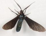 Satin Stowaway/Banana Moth - Antichloris viridis