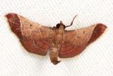 Dolichomia amoenalis