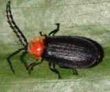 Honduras Lampyridae (fireflies)