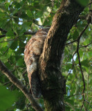 Great Potoo - Nyctibius grandis