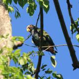White-crowned Parrot - Pionus senilis