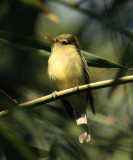 Yellow-bellied Flycatcher - Empidonax flaviventris