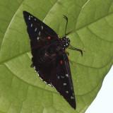 Red-spotted Firetip - Pyrrhopyge erythrosticta