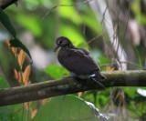 Ruddy Quail-Dove - Geotrygon montana