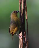 Olive-backed Euphonia - Euphonia gouldi