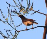 Brown Jay - Psilorhinus morio