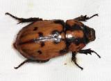 Cyclocephala mafaffa