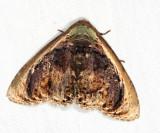Lepidodes gallopavo