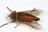 Tabanidae - Tabanus cf. occidentalis