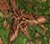 Eumorpha sp.