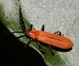 Honduras Lycidae (net-winged beetles)