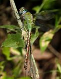 Coryphaeschna adnexa (young female)
