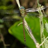 Honduras Anisoptera (dragonflies)