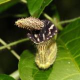 Papo-de-peru - Aristolochia sp.