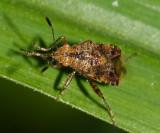 Rhopalidae: prob. Niesthrea sp.