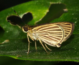 Velvet-streaked Brown-Skipper - Parphorus storax