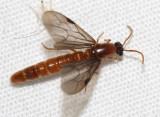 Neivamyrmex sp. (male army ant)