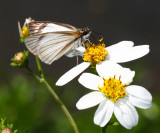 Veined White-Skipper - Helioptes arsalte