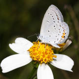 Eastern Tailed-Blue - Everes comyntas