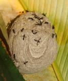 Polybia occidentalis