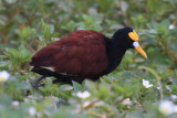 Shorebirds - genus Jacana