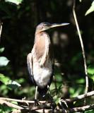 Agami Heron - Agamia agami