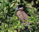 Boat-billed Heron - Cochlearius cochlearius