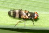 Chaetopsis massyla