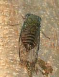 Cicada - Cicadidae