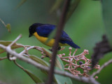 Yellow-throated Euphonia - Euphonia hirundinacea