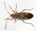 Pyrrhocoridae - Dysdercus sp.