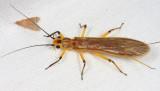 Stonefly - Plecoptera
