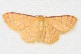 Larentiinae sp.