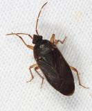 Petissius sp.