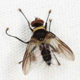 Tachinidae - tribe Blondeliini