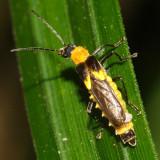 Soldier Beetle - Cantharidae - Belotus sp. (prob. bicolor)