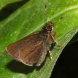 Plain Brown Skipper - Eutocus facilis
