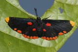 Red-bordered Pixie - Melanis pixe