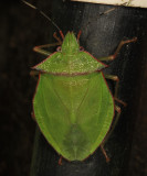 Chlorocoris distinctus