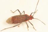 Rhopalidae - Jadera sp.