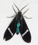 Hypocrita Tiger Moth - Hypocrita albimacula