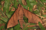 Pachylia darceta